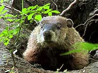 groundhog removal company akron ohio 44322 how to get rid of